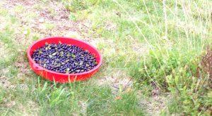 Heidelbeeren sammeln