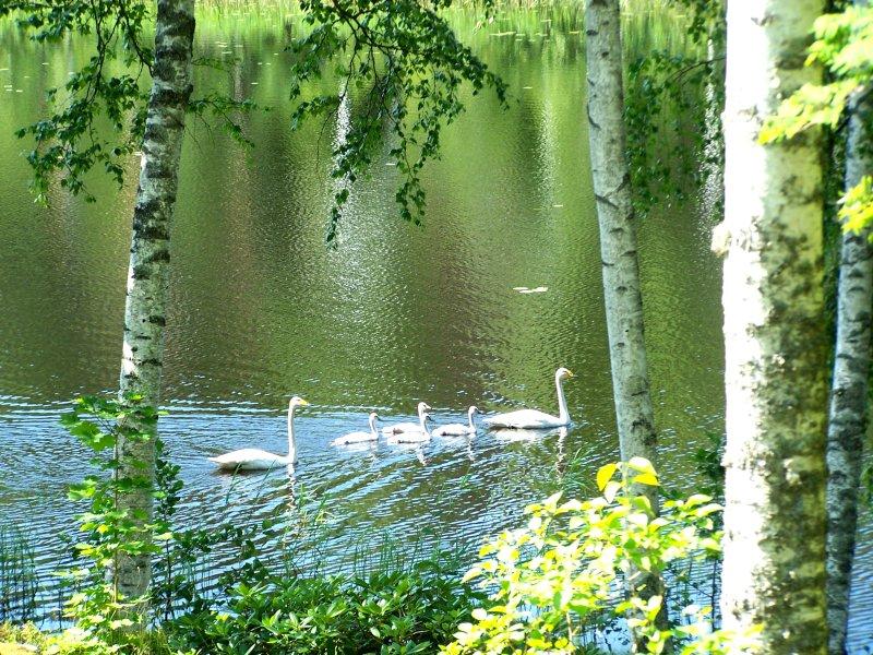 Singschwan-Familie im Urlaub in Finnland