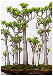 Bonsai Affenbrotbaum Samen kaufen