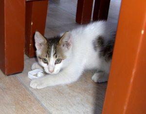 Türkisches Hotel-Kätzchen