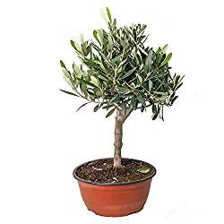 Olivenbaum zum Anpflanzen für Hochzeit