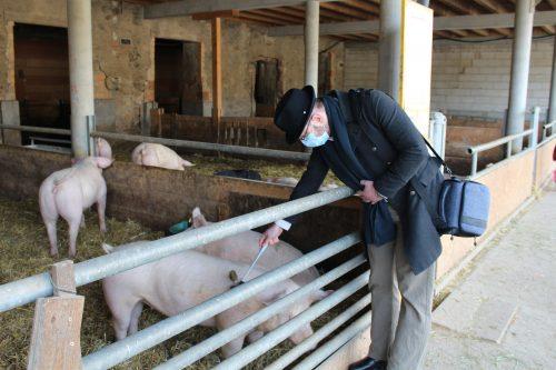 Schweine kratzen auf dem Baldenwegerhof
