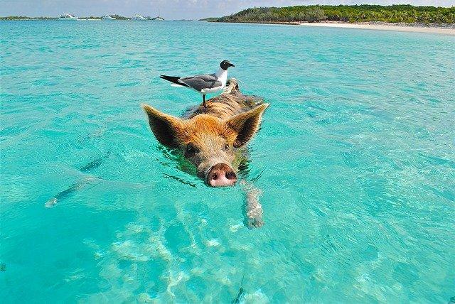 Schweineschwimmen